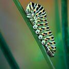Papilio caterpillar by jimmy hoffman