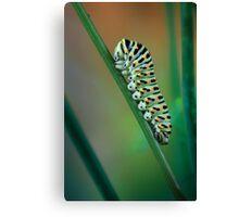 Papilio caterpillar Canvas Print