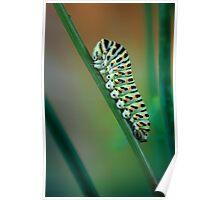 Papilio caterpillar Poster