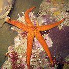 ORANGE STAR by springs