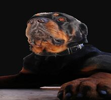 Regal and Proud Male Rottweiler Portrait Isolated by taiche