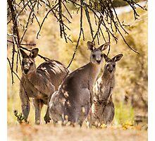 Kangaroos Photographic Print
