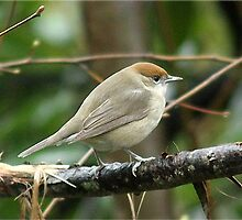 Female Blackcap by Rivendell7