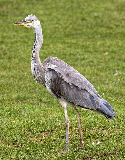 Grey Heron by Jamie  Green