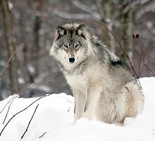 Wolf in Canadian Winter by John44