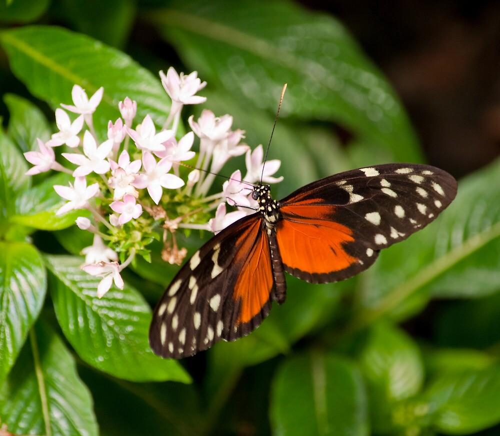 Monarch Butterfly by Dfilyagin