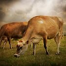 Cornish Cows by ajgosling