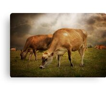 Cornish Cows Canvas Print