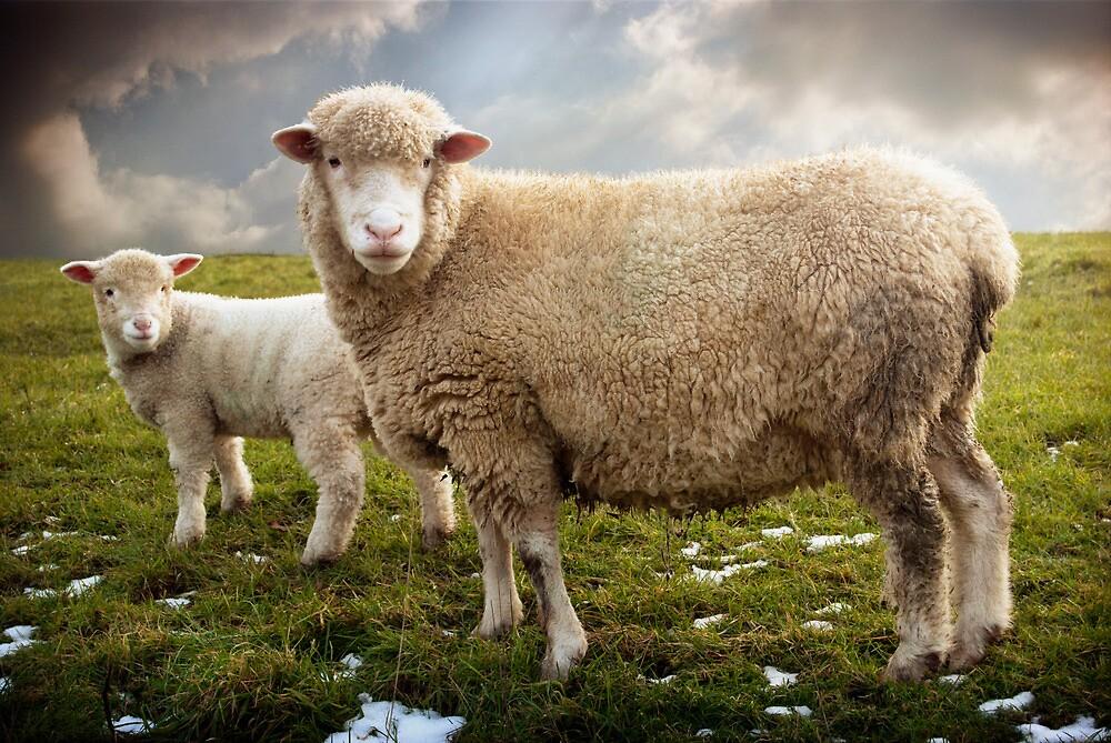 Snowy Sheep by ajgosling