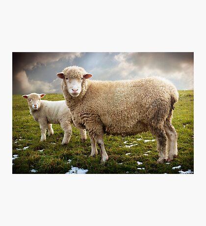 Snowy Sheep Photographic Print