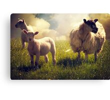 3 Sheep Canvas Print