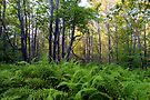Ricketts Glen Ferns & Forest by Gene Walls