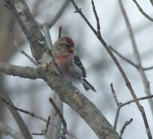 Common Redpoll - Male by Tracy Faught