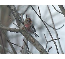 Common Redpoll - Male Photographic Print