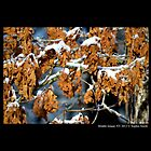 Quercus Alba - White Oak Dry Leaves Covered With Snow by © Sophie W. Smith
