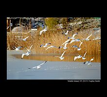 Larus Delawarensis - Ring-Billed Gulls Flying Over Frozen Pine Lake - Middle Island, New York by © Sophie W. Smith