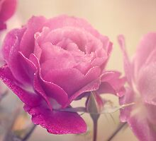 Glowing Rose by ©Maria Medeiros