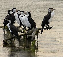 Pied Shags by srhayward