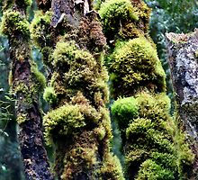 Moss covered rainforest trees. Southwest National Park, Tasmania by PepperPotPics