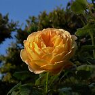 orange rose with dew by Jicha