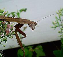 A posing Praying Mantis by windrider