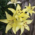 Yellow Day Lillies by artyfax