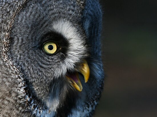 Great Grey Owl by Lisa  Baker-Richardson