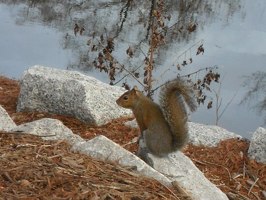 Squirrel On Rock by Melissa, Sue Ball