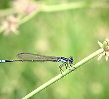 Bluetail Damselflie by Melissa Dickson