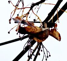 seeds of a maple~ by Brandi Burdick