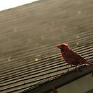 Northern Cardinal by njumer