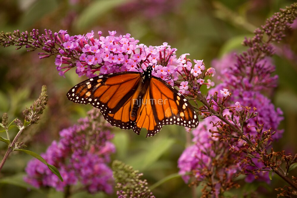 Monarch by njumer