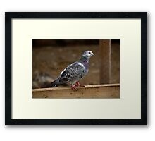 Farm Pigeon Framed Print