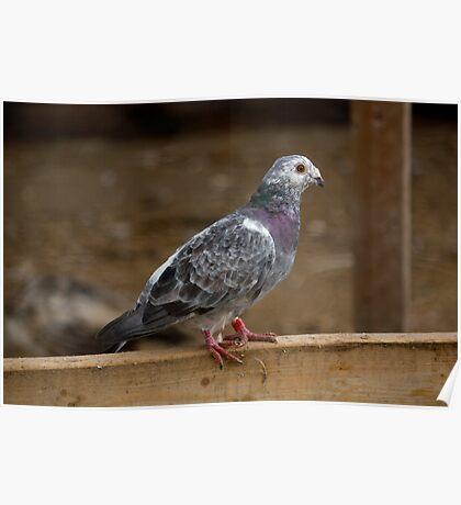 Farm Pigeon Poster
