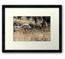 Pounce Framed Print