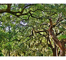 Spanish Moss Photographic Print