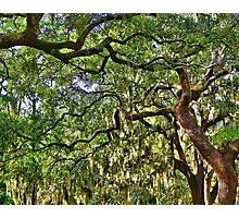 Spanish Moss Photographic Print