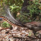 Superb Lyrebird (male) by Ian Creek