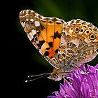 Butterfly - Vanessa Cardui by Henry Jager