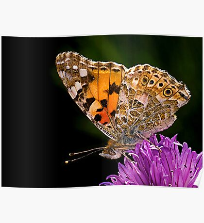 Butterfly - Vanessa Cardui Poster