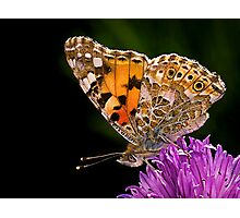 Butterfly - Vanessa Cardui Photographic Print