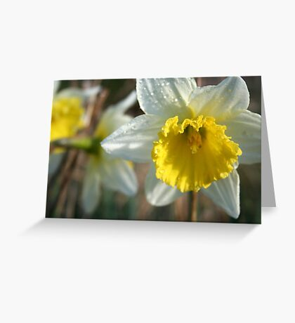 Daffodil and Dew- our garden Greeting Card