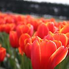 Tulip Festival at Table Cape- Wynyard, Tasmania by PepperPotPics