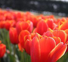 Tulip Festival at Table Cape- Wynyard, Tasmania by PepperPotPics
