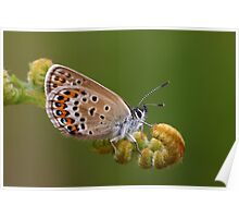 Silver-studded Blue Poster