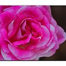 Rose In White Frame by Chet  King