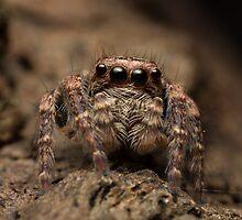 (Servaea vestita) Jumping Spider #3 by Kerrod Sulter