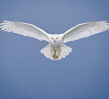 Snowy Owl - Male by (Tallow) Dave  Van de Laar