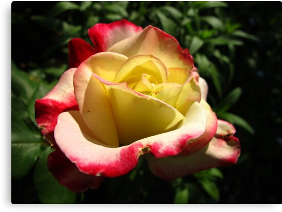 In praise of roses by MarianBendeth