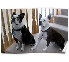 Boston Terriers Poster